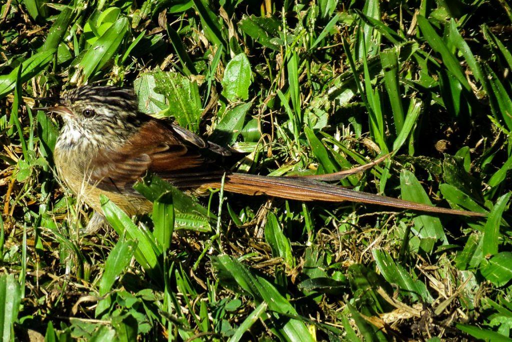 Nem só de papagaios vivem os observadores de aves em Urupema. Há Grimpeiros Leptasthenura setaria, que teoricamente só vivem sobre as araucárias (ninguém contou para esse, que procurava insetos no chão)... Foto: Rita Souza