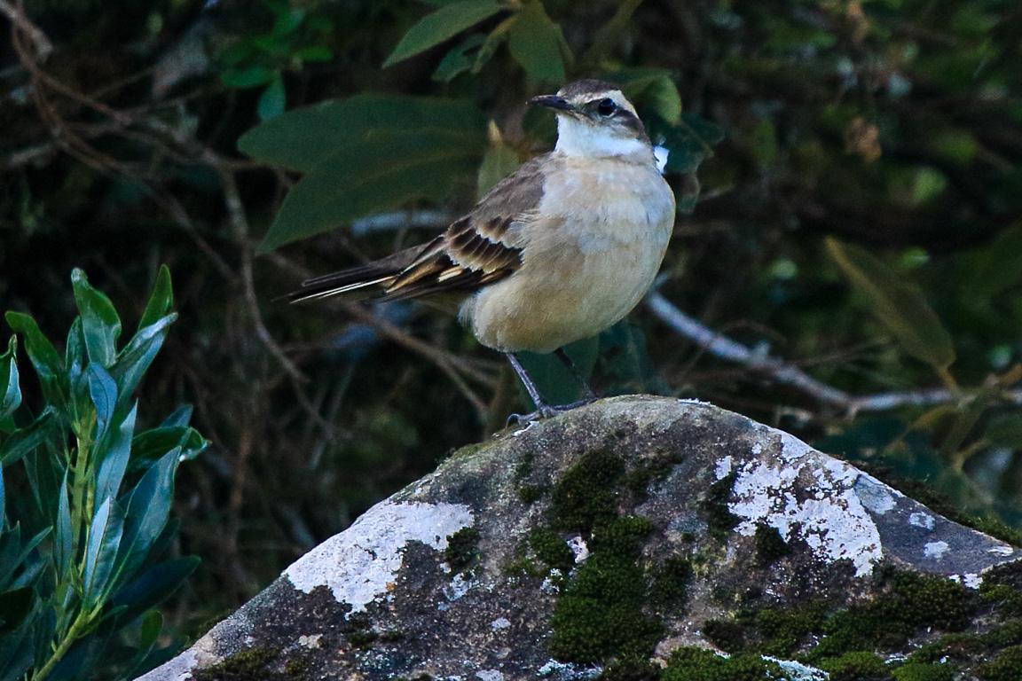 O Pedreiro <i>Cinclodes pabsti</i> ocorre apenas na região dos campos do alto da serra de Santa Catarina e Rio Grande do Sul. Foto: Fábio Olmos