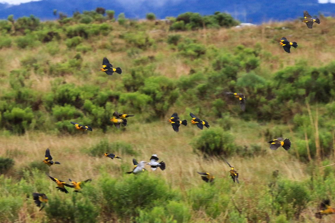 O Veste-amarela Xanthopsar flavus vive em grandes bandos. É uma espécie ameaçada de extinção porque nidifica em banhados... Foto: Fábio Olmos