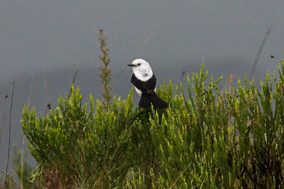 A Noivinha-de-rabo-preto <i>Xolmis dominicanus</i> é outra espécie ameaçada endêmica dos Campos Sulinos. Foto: Elsie Rotenberg