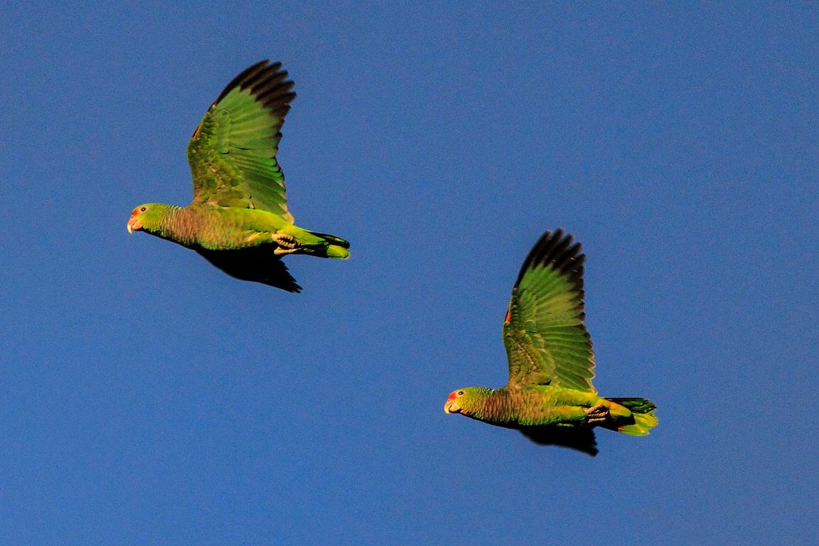 As araucárias e o grande Festival dos Papagaios de Urupema