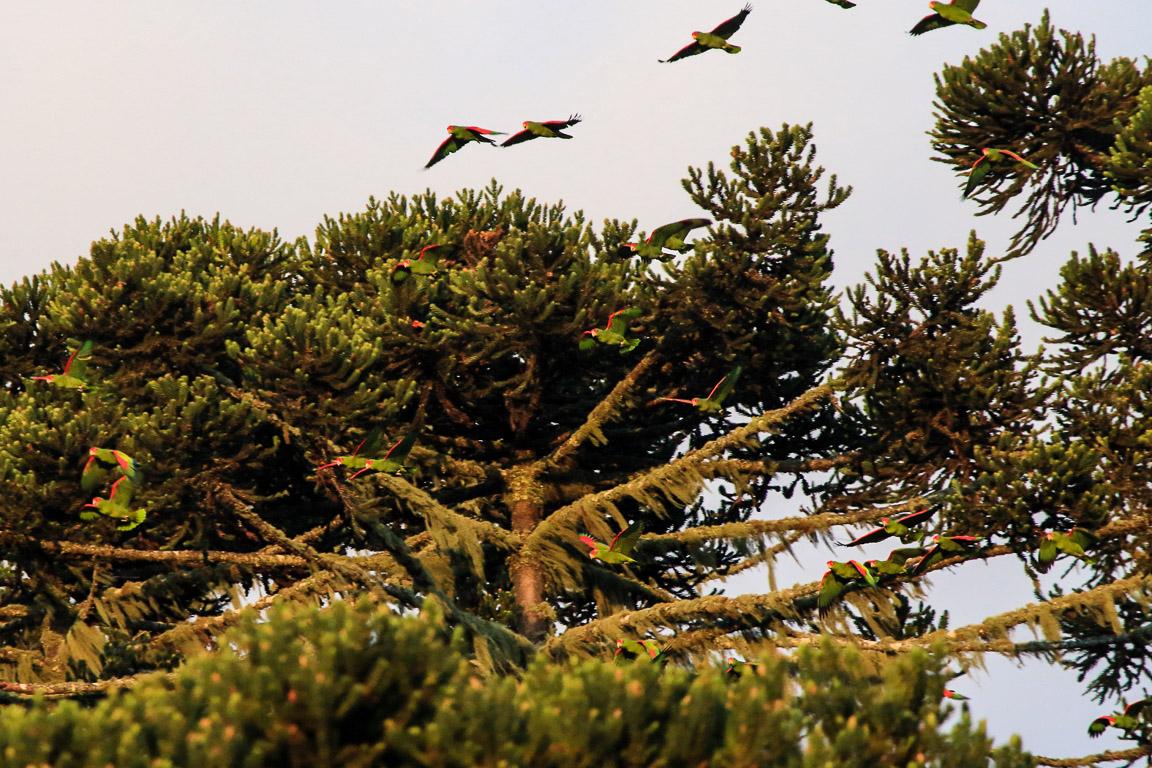 ... que atacam as araucárias... Foto: Fábio Olmos