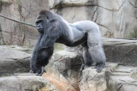 Imagem do gorila do zoo de Cincinnati, abatido no domingo após uma criança cair no cela. Foto: Mark Dumont/Flickr.