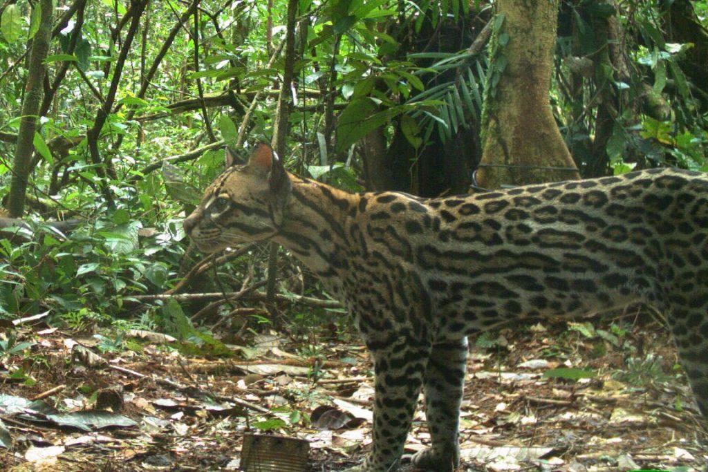 A jaguatirica é o terceiro maior felino brasileiro e o mais abundante. Estudo indica que floresta amazônica pode abrigar menos animais da espécie do que modelos previam. Foto: Daniel Rocha/Instituto Mamirauá.