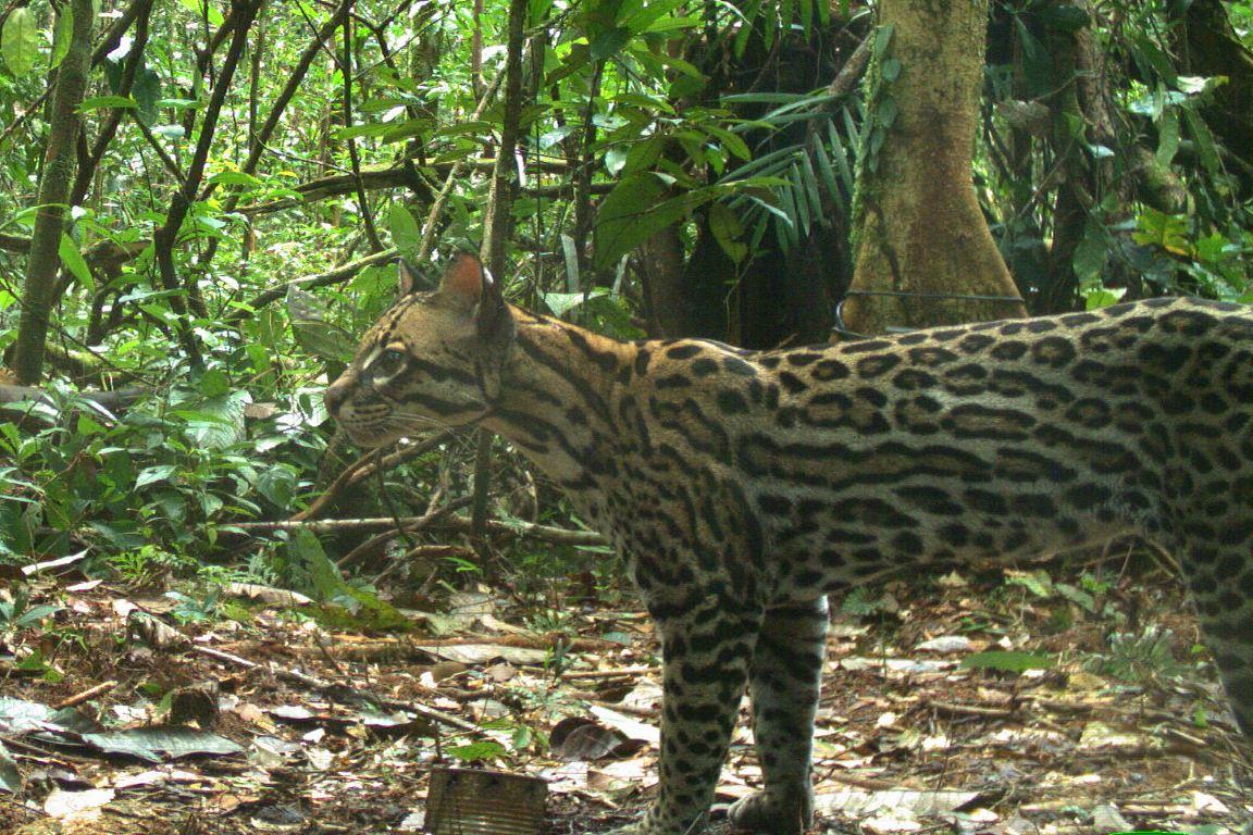 Não são tantas jaguatiricas quanto se imaginava