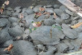 Mais de 530 animais foram achados nesses currais ainda vivos. Foto: Divulgação.