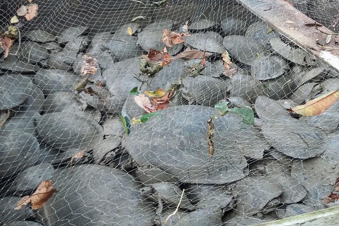 Quase 800 tartarugas salvas no interior do Amazonas