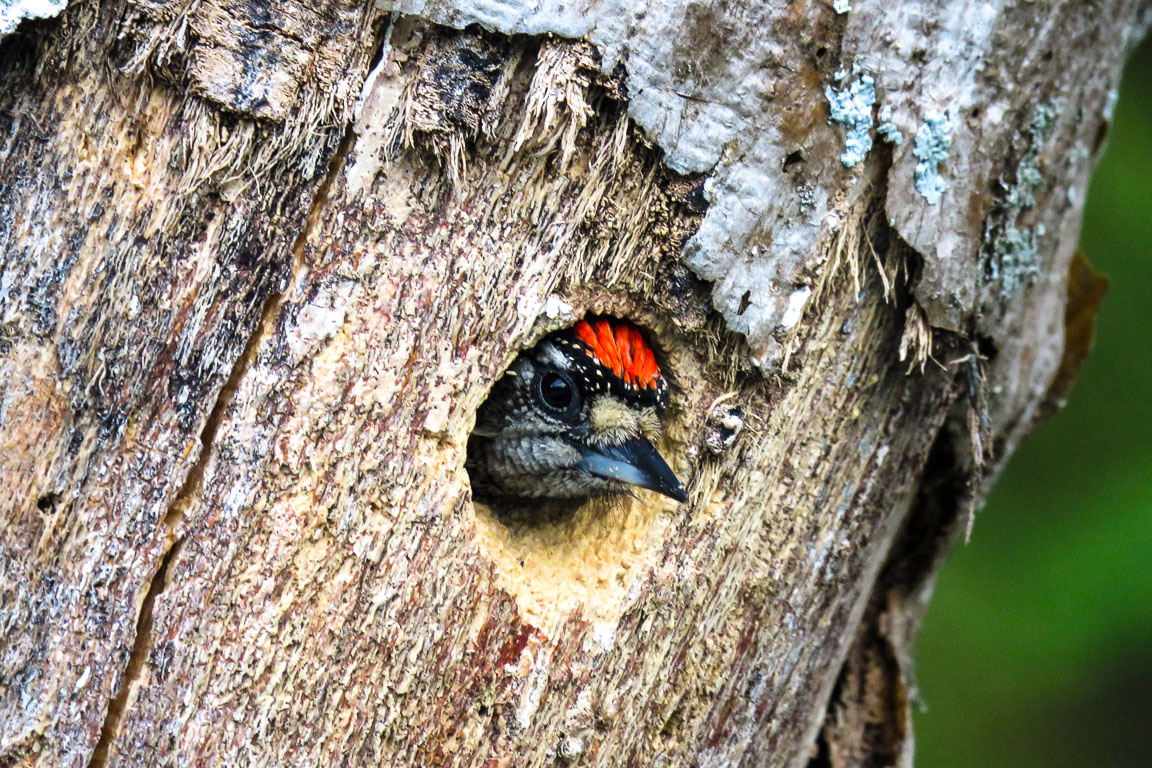 Picapauzinho barrado. Parque Nacional Restinga Jurubatiba. Foto: Tietta Pivatto