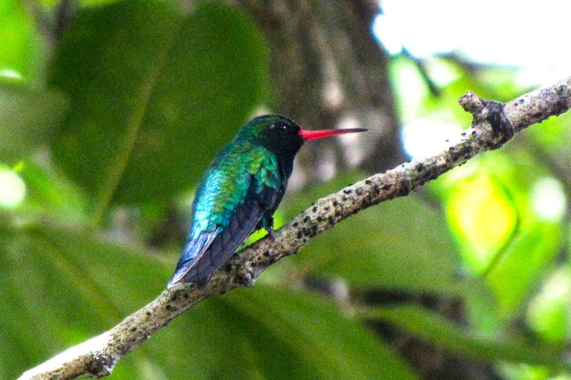 Besourinho-do-bico-vermelho. Bonito, MS. Foto: Tietta Pivatto