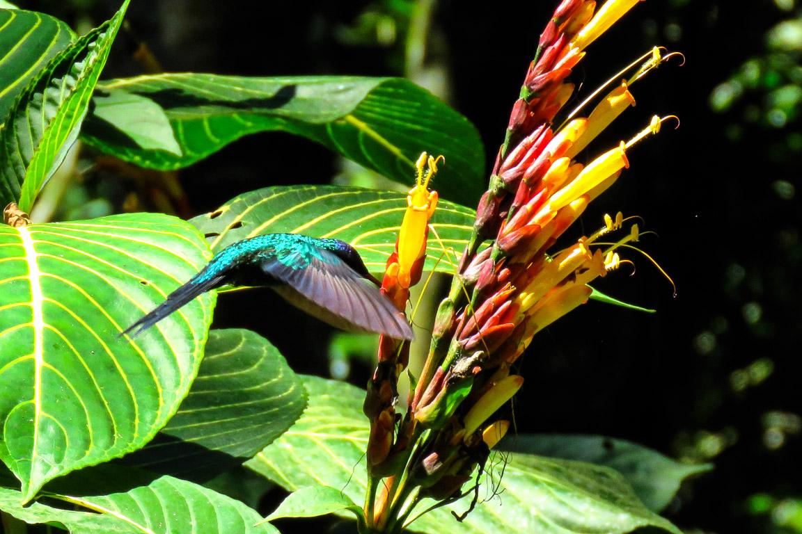 Beija-flor-de-fronte-violeta. Penedo, RJ. Foto:Tietta Pivatto