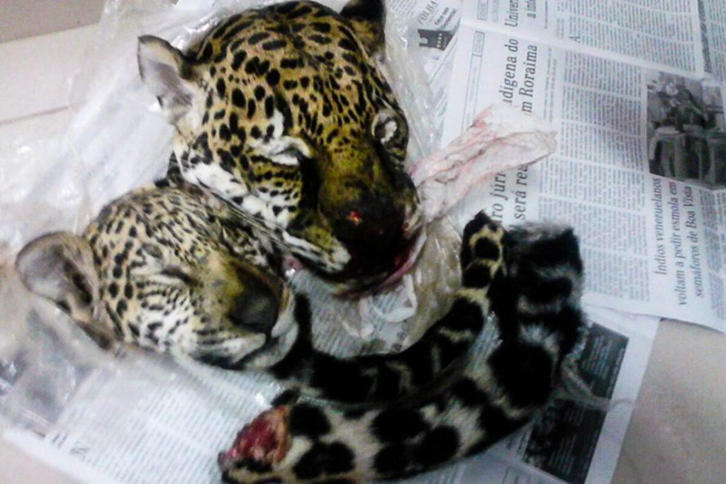Onças caçadas: cabeças e caudas estavam sendo transportadas para serem exibidas como troféus. Foto: Divulgação/PRF
