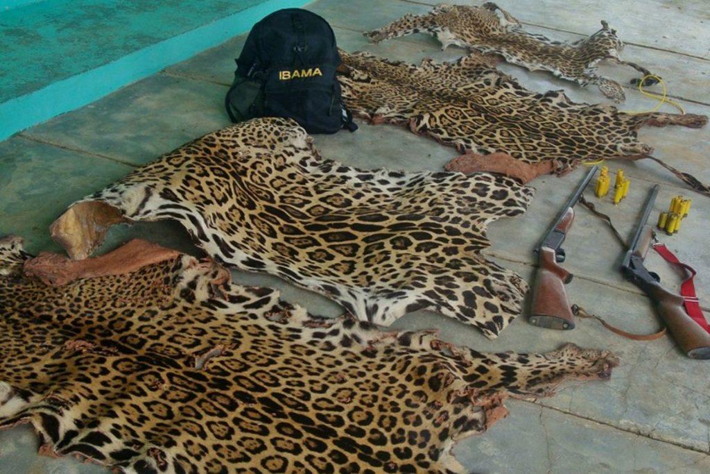 Juma era mascote do 1º Batalhão de Infantaria de Selva do Exército. A onça foi abatida após ser exposta durante o revezamento da Tocha Olímpica em Manaus e escapar. Foto: Vandré Fonseca