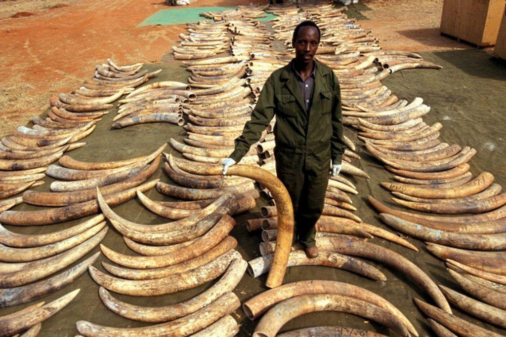 Marfim confiscado em Singapura está de volta ao Parque Nacional Tsavo East, no Quênia. Foto: International Fund for Animal Welfare Animal Rescue/Flickr.