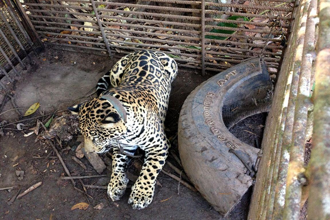 Onça-pintada encontrada em cativeiro ilegal. Foto: Ibama