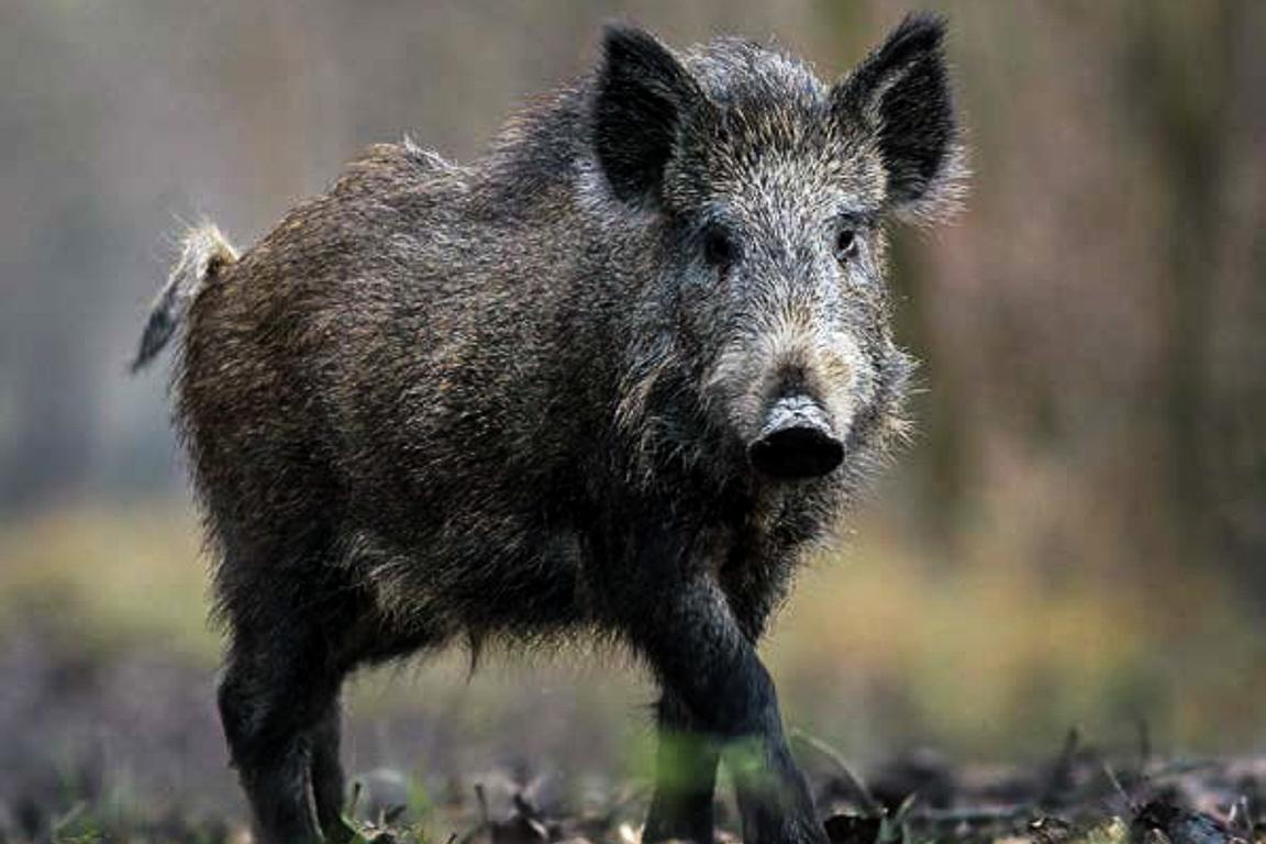Fantástico erra feio ao demonizar caça ao javali