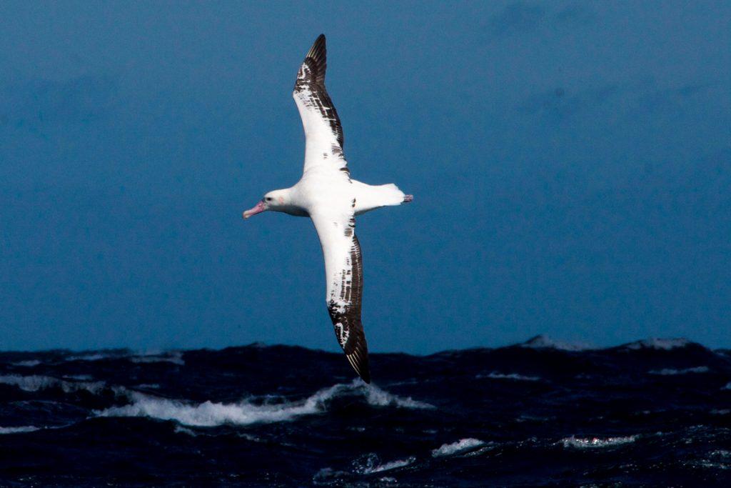 Albatroz-viajeiro(DiomedeaExulans). Foto: Fabiano Peppes / Projeto Albatroz