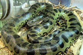 Anaconda verde (Eunectes murinus). Foto: LA Dawson / Wikimedia Commons
