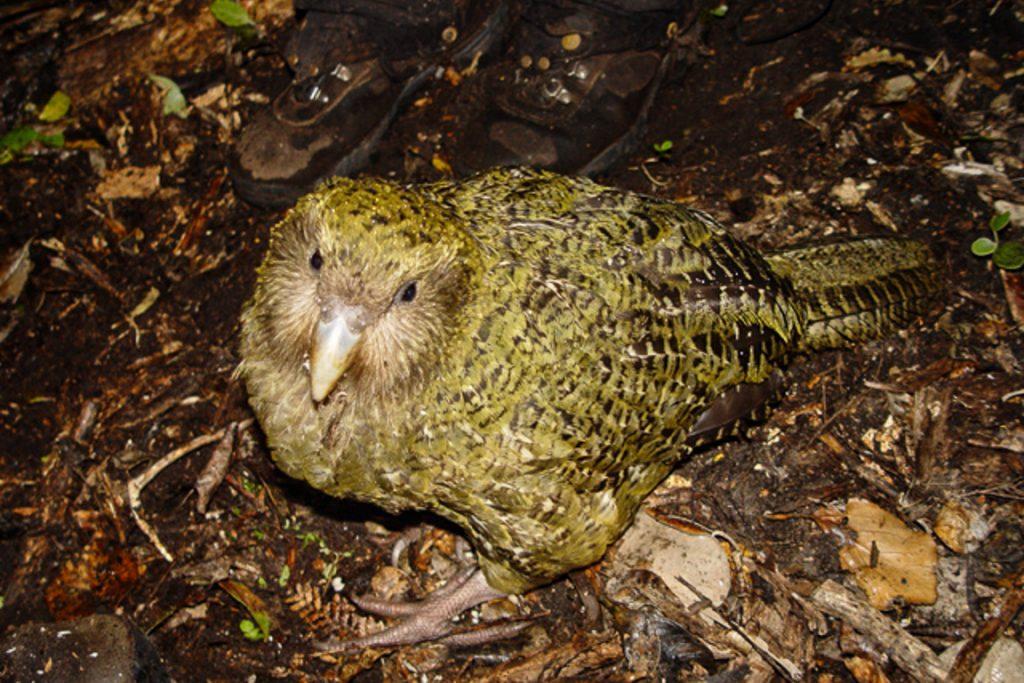 Kakapo ( Strigops habroptilus). Foto: Markus Nolf