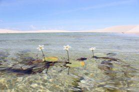 A flora se destaca em uma bela lagoa azul nos Lençóis Maranhenses. Foto: Leandro Do Nascimento