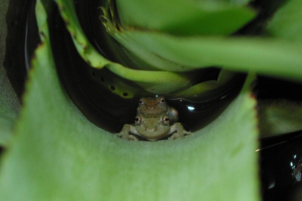 Scinax alcatraz, espécies deposita ovos em água acumulada em bromélias. Fugir do curso principal de água pode ser uma estratégia para evitar a concorrência de outros machos. Crédito: Kelly R. Zamudio, Cornell University.