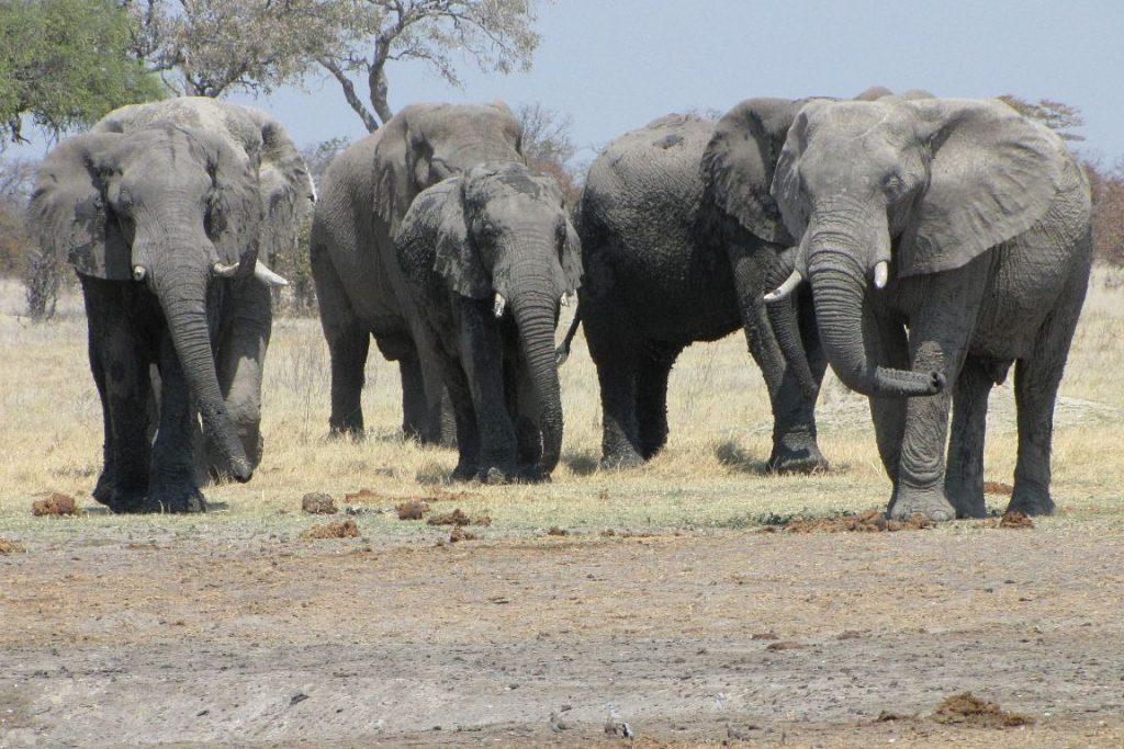 Elefantes em Botswana. Crédito: Blaire Van Valkenburgh.