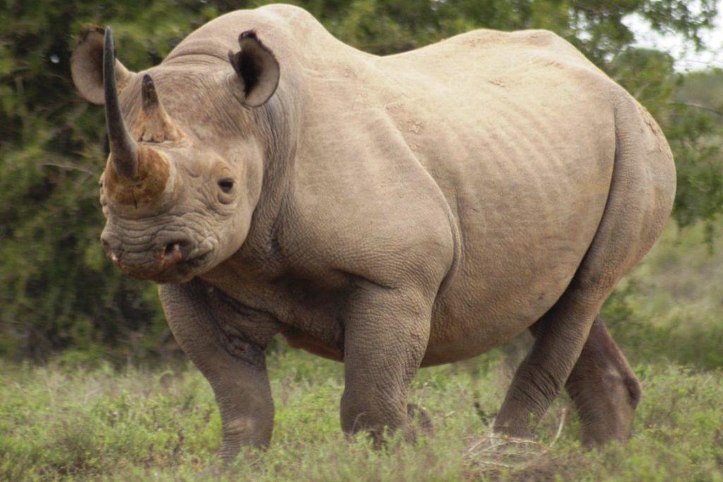 Rinocerontes também estão desaparecendo devido a ação humana. Crédito: Graham I.H. Kerley.