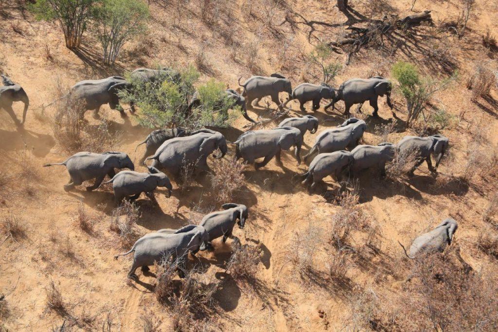 Em 15 países onde foi possível comparar os novos dados com informações da década passada, a população de elefantes nas savanas diminui 30%, ou seja, 144 mil animais, entre 2007 e 20014. Crédito: EWB.