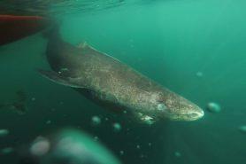 O intrigante tubarão-da-groenlândia chega a medir mais de 5 metros. E demora 150 anos para atingir a maturidade sexual.Foto: Julius Nielsen.