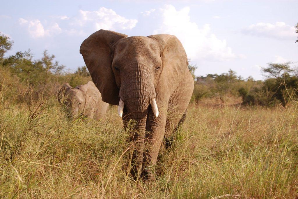 Elefante no Parque Nacional Kruger, na África do Sul. País sedia encontro internacional sobre comércio de espécies ameaçadas. Foto: Wikipédia.