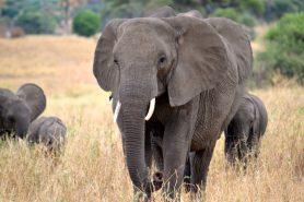 A Tanzânia é um dos países mais afetados com a queda na população de elefantes. Foto: Megan Coughlin.