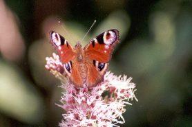 O número de borboletas-pavão (Peacock Butterflies) caiu 42% em relação ao ano passado. Foto: Pedro Henriques/Flickr