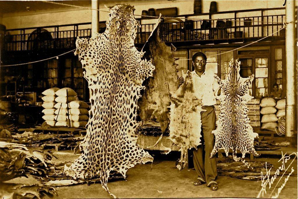 Peles de jaguar, lontra gigante, lontra neotropical e jaguatirica em um curtume de Manaus na década de 1950. Crédito: Biblioteca Virtual do Instituto Brasileiro de Geografia e Estatística (IBGE).