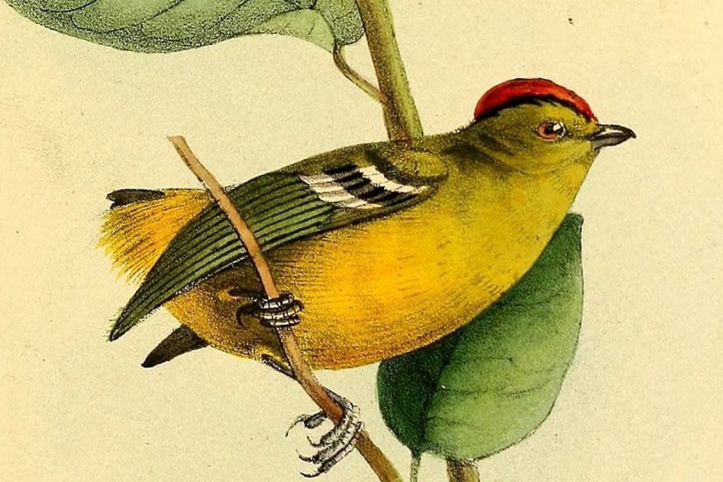 Calyptura_cristata - Ilustração de William John Swainson - Wikipedia2
