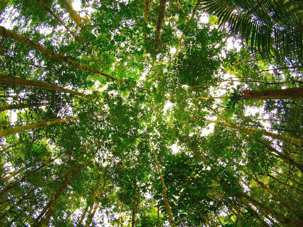 Dossel_Amazonia