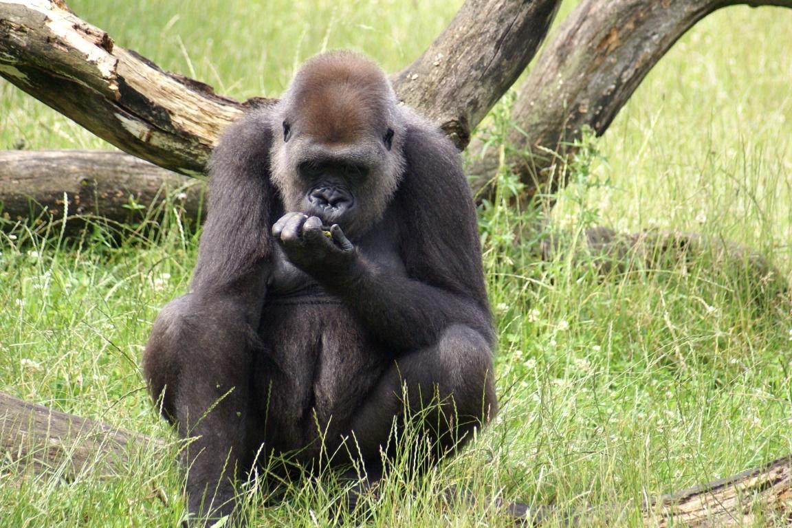 Entre os animais que estão desaparecendo estão os gorilas. Foto: Thomas Widmann/ Flickr.