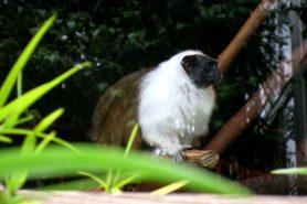 Sauim-de-coleira no zoológico de São Francisco. Foto: Seglea / Wikimedia Commons