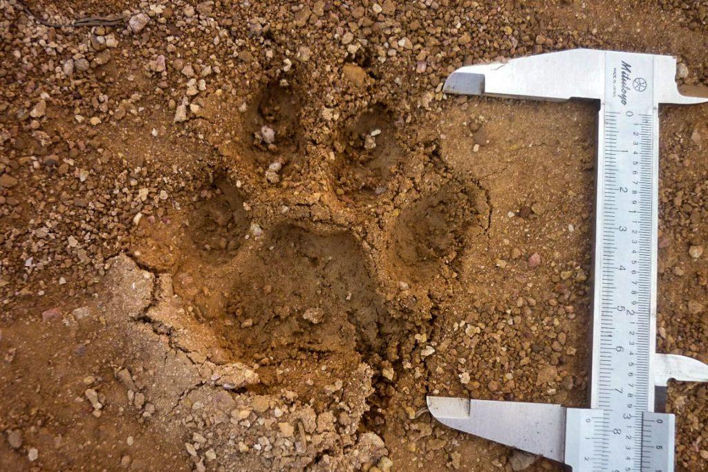 O método de rastreamento de pegadas levou ao registro de nove espécies de mamíferos ameaçados. Foto: Julio Dalponte