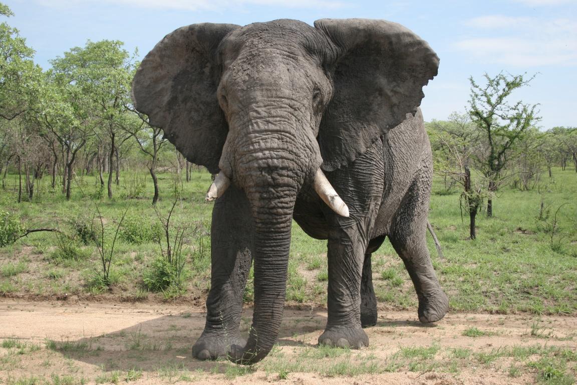 Elefante - Foto Mandy Goldberg