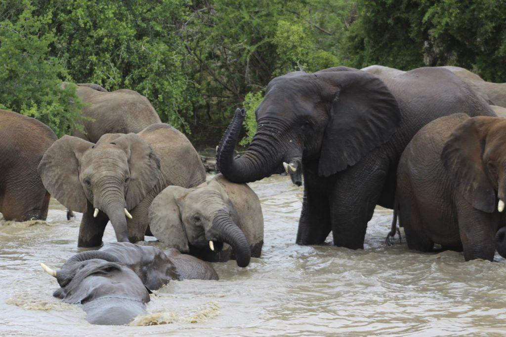 Manada_elefantes