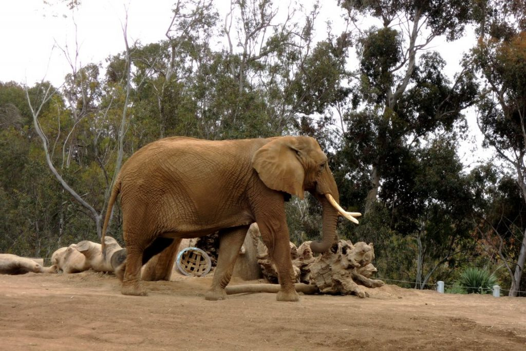 Elefante no zoológico de San Diego, Califórnia. Foto: Wikimedia