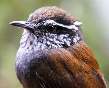 Este pássaro foi descrito em 2003 e já está criticamente ameaçado de extinção, devido ao avanço do desmatamento.Crédito: Natalia Ocampo-Peñuela/Divulgação