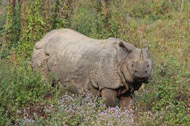 O Nepal  conseguiu ficar 365 dias consecutivos sem a prática da caça furtiva de rinocerontes graças, principalmente, ao uso de alta tecnologia. Foto: Diganta Talukdar/Flickr