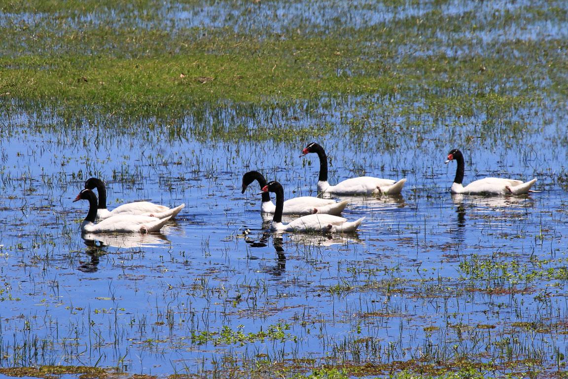 Cisnes-de-pescoço-preto são um dos ícones de Banhados como o Taim. Foto: Fabio Olmos
