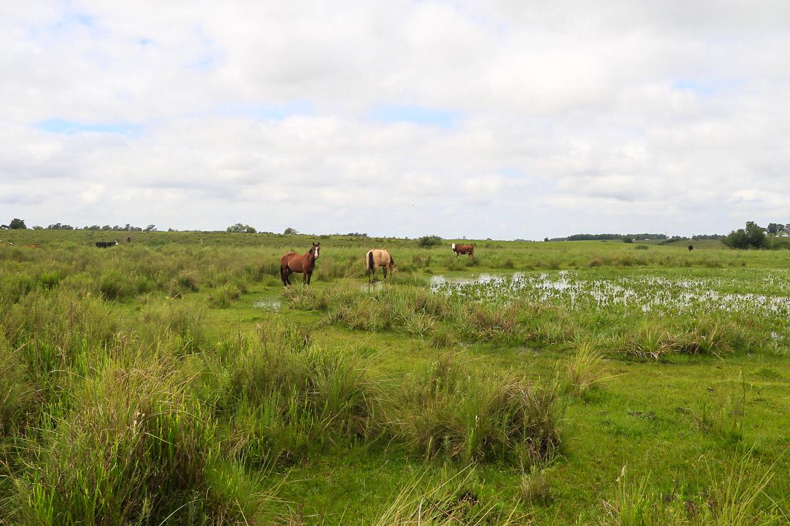 A pecuária de baixo impacto cria um mosaico de campos altos e baixos, e conserva banhados nas coxilhas. Foto: Fabio Olmos