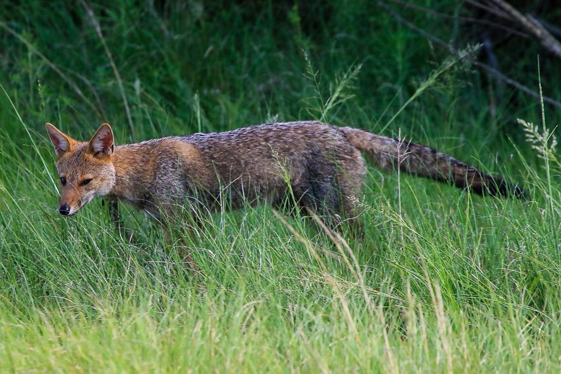 O Graxaim é uma das espécies compartilhadas pelo Pampa e pelos Campos de Cima da Serra. Foto: Fabio Olmos