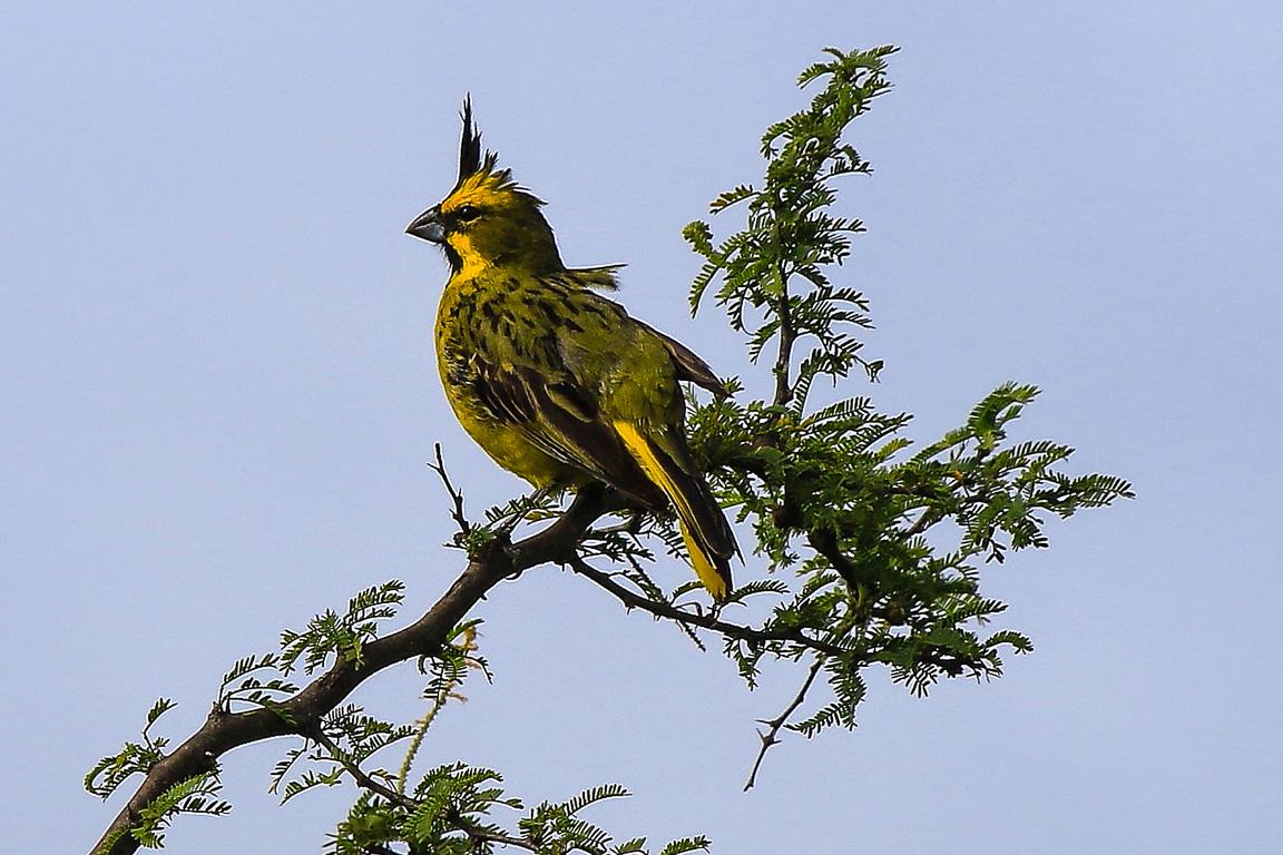 O Cardeal-amarelo, espécie associada ao Espinilho, está à beira da extinção devido ao colecionismo criminoso que alimenta o comércio de aves de gaiola. Foto: Fabio Olmos