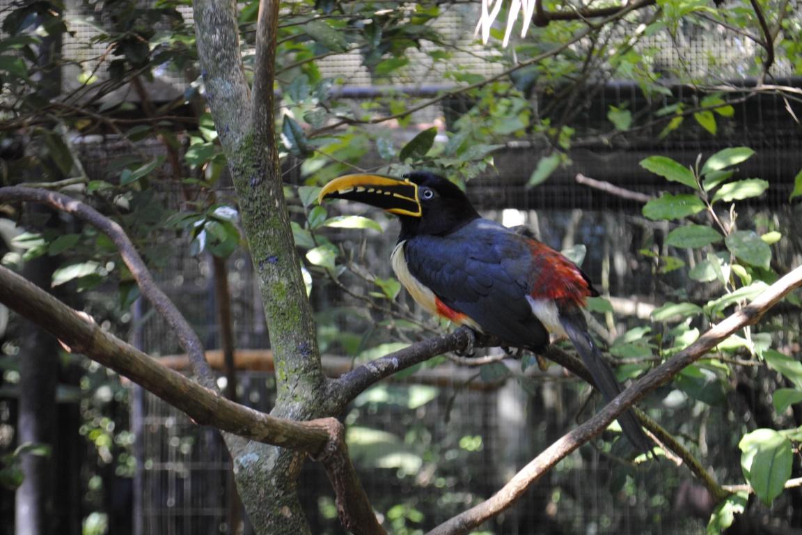 Pteroglossus castanotis (araçari-castanho) foi registrado durante a pesquisa. Foto: Cícero R. C. Omena/ Flickr.