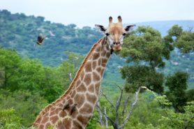 A população mundial de girafas sofreu uma redução de 40% nos últimos 30 anos. Foto: Martine/Flickr