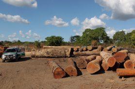 Segundo os agentes do Ibama, os madeireiros sabem que uma operação de grande escala demora a acontecer novamente e eles voltam rapidamente ao mesmo lugar. Foto: Ibama/Flickr.