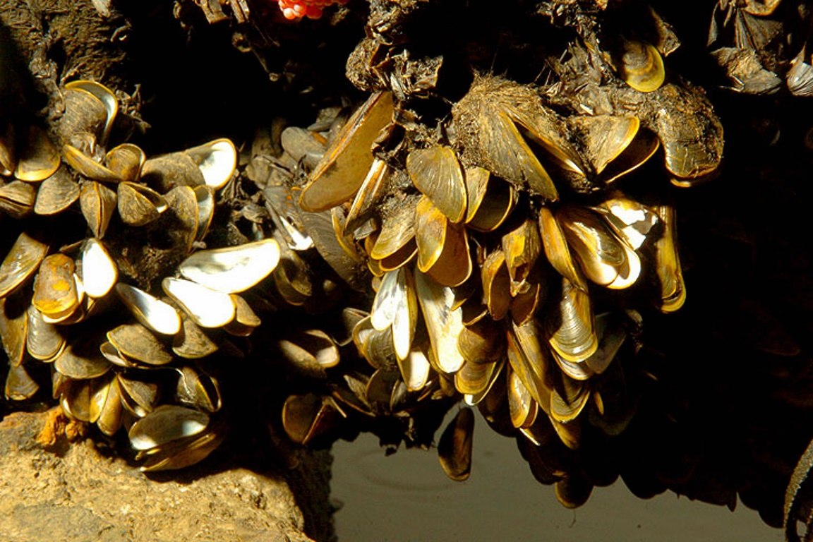 Mexilhões-dourados. Foto: Wikimedia Commons